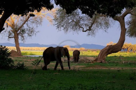 Elrphants at the Zambezi River, Zimbabwe